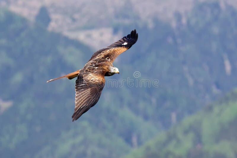 Le cerf-volant rouge image libre de droits