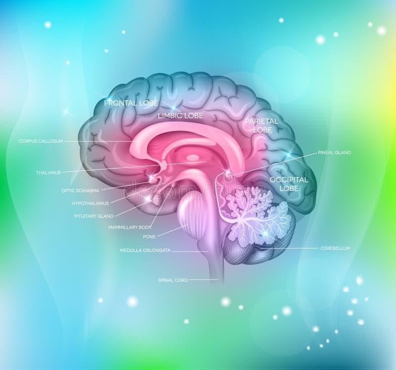 Le cerveau illustration libre de droits