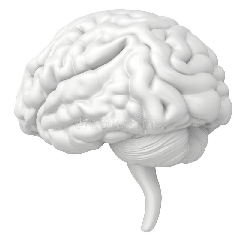 Le cerveau est un plan rapproché d'isolement sur le fond blanc illustration stock