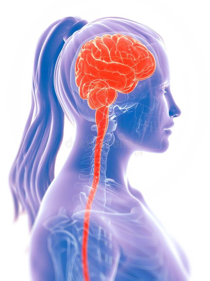 Le cerveau femelle illustration de vecteur