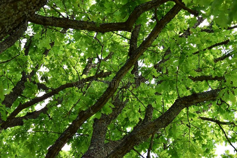Le chêne photographie stock libre de droits