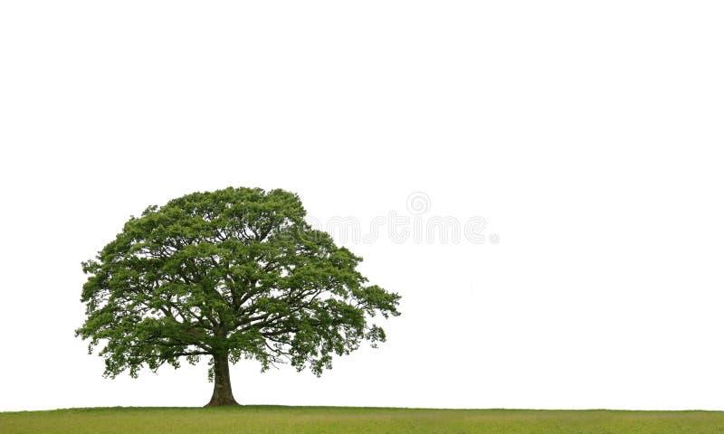 Le chêne antique photographie stock