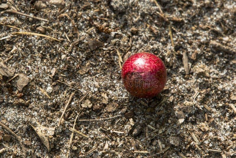 Le chêne Apple rouge écorchent avec le pollen photographie stock