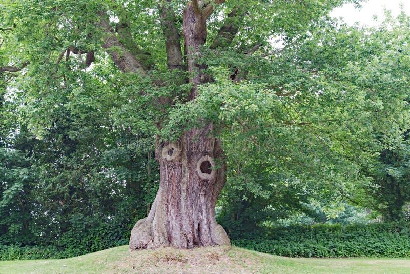Le chêne célèbre vis-à-vis de l'hôtel de château de Peckforton, dans Cheshire photo stock