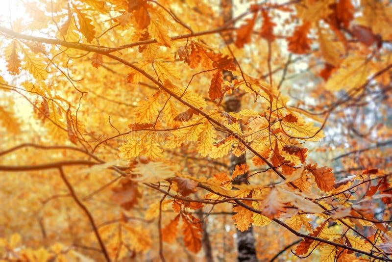 Le chêne d'automne part contre le ciel bleu Fond d'automne photographie stock libre de droits