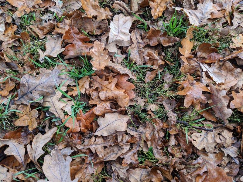 Le chêne d'automne part sur l'herbe photos libres de droits