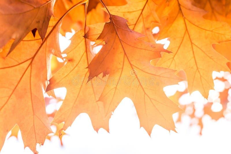 le chêne de fond d'automne part, foyer sélectif, automne de concept, rêverie, rêverie photos libres de droits
