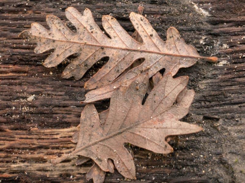 Le chêne de vallée pousse des feuilles tombé sur le rondin photo libre de droits
