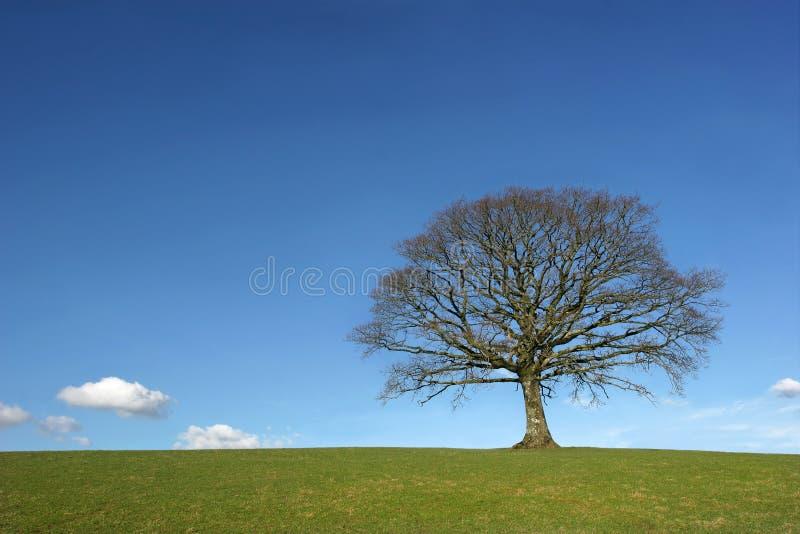 Le chêne en hiver images libres de droits