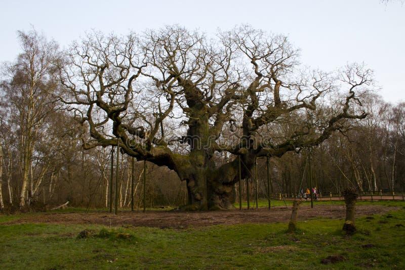 Le chêne géant images stock