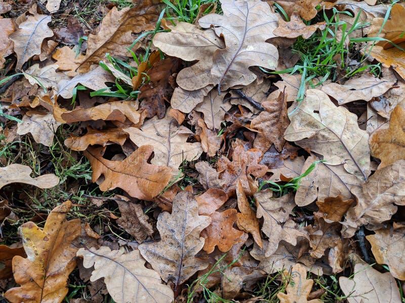 Le chêne humide part sur l'herbe photo stock