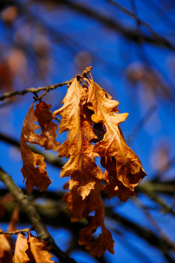 Le chêne mourant photos stock