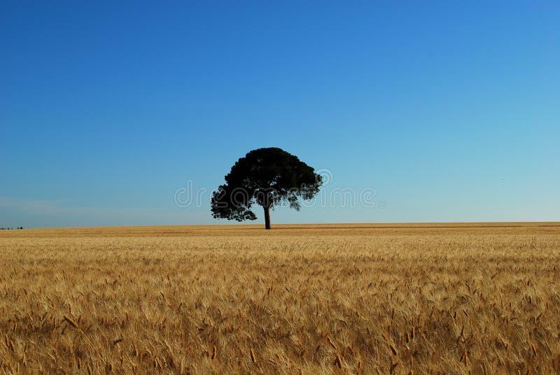 Le chêne solitaire dans le domaine de blé photos libres de droits