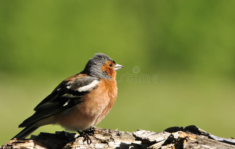 Le Chaffinch images stock