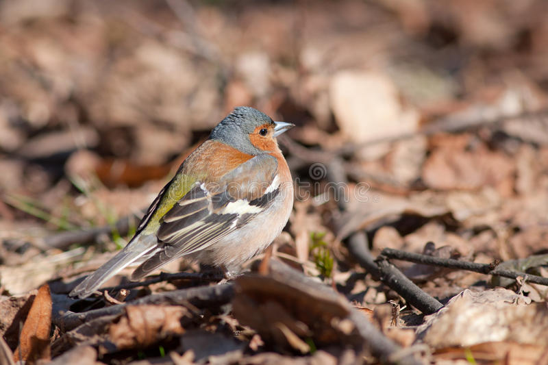 Le chaffinch photographie stock