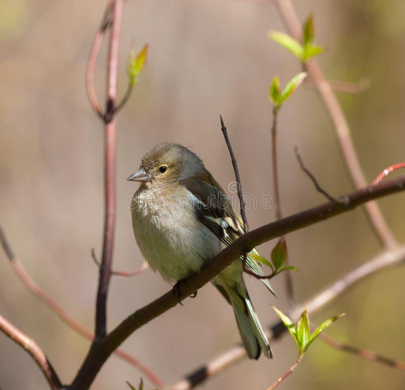 Le chaffinch au printemps image libre de droits