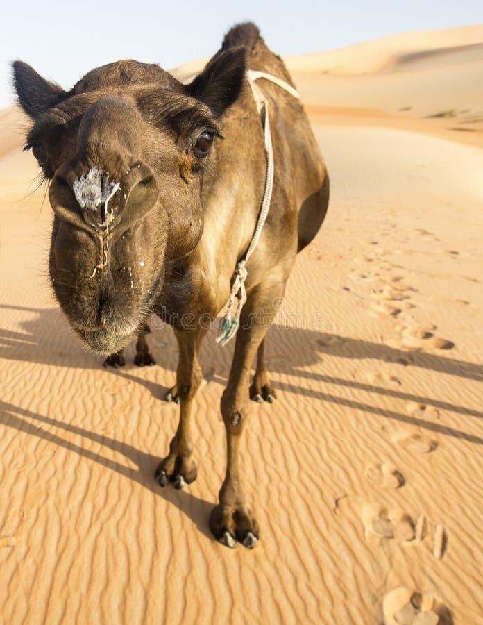Impressions De Pied De Chameau Image stock - Image du oman, animal: 14765149