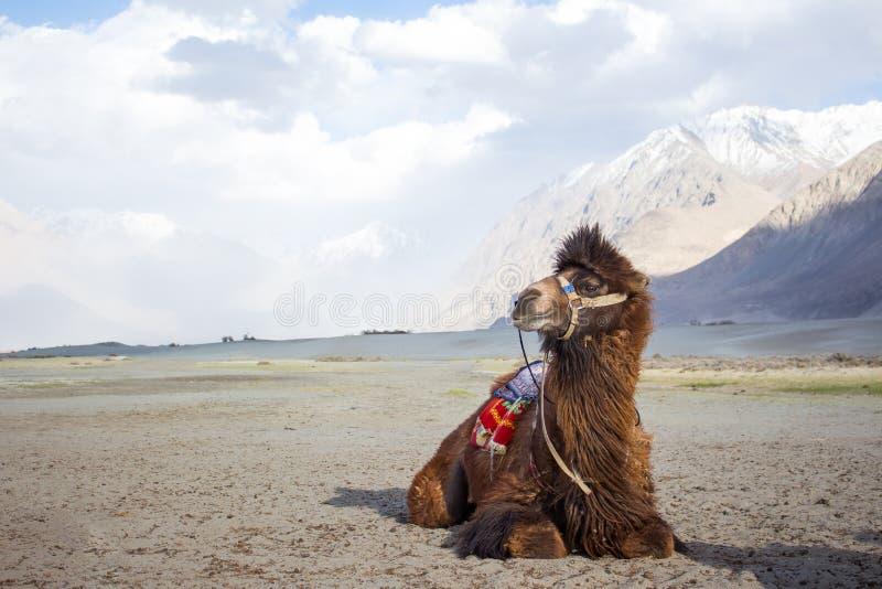Le chameau d'isolement en vallée de Nubra, Leh Ladakh photographie stock libre de droits