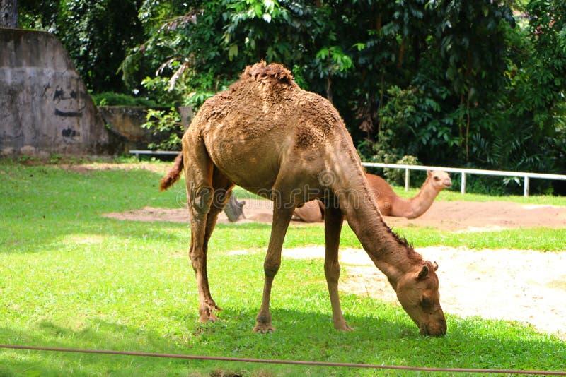 Le chameau est un ongulé égal-botté avec la pointe du pied dans le genre Camelus image libre de droits