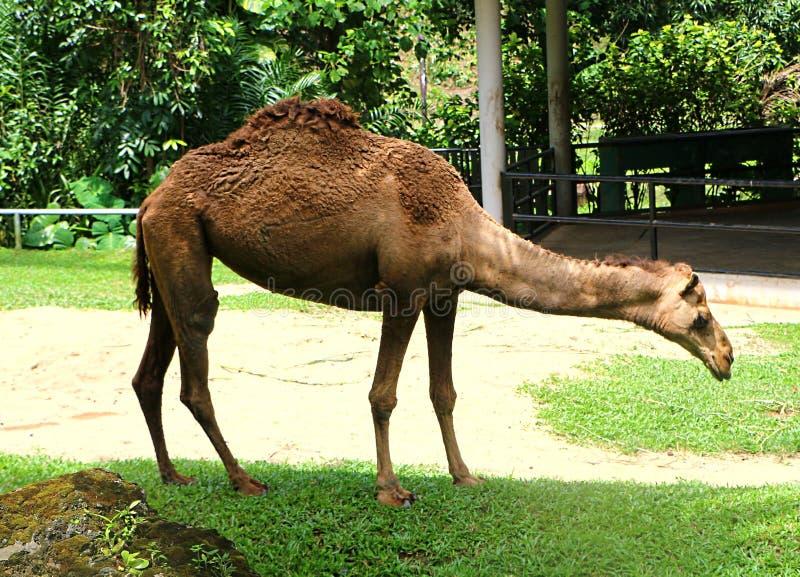 Le chameau est un ongulé égal-botté avec la pointe du pied dans le genre Camelus images stock