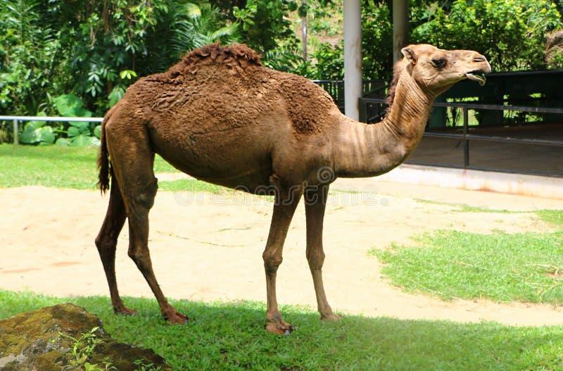 Le chameau est un ongulé égal-botté avec la pointe du pied dans le genre Camelus photo stock