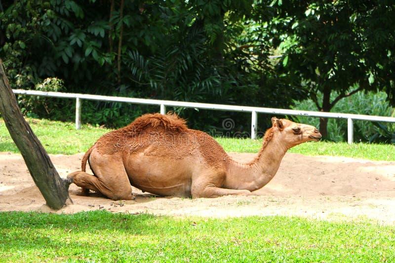 Le chameau est un ongulé égal-botté avec la pointe du pied dans le genre Camelus image stock
