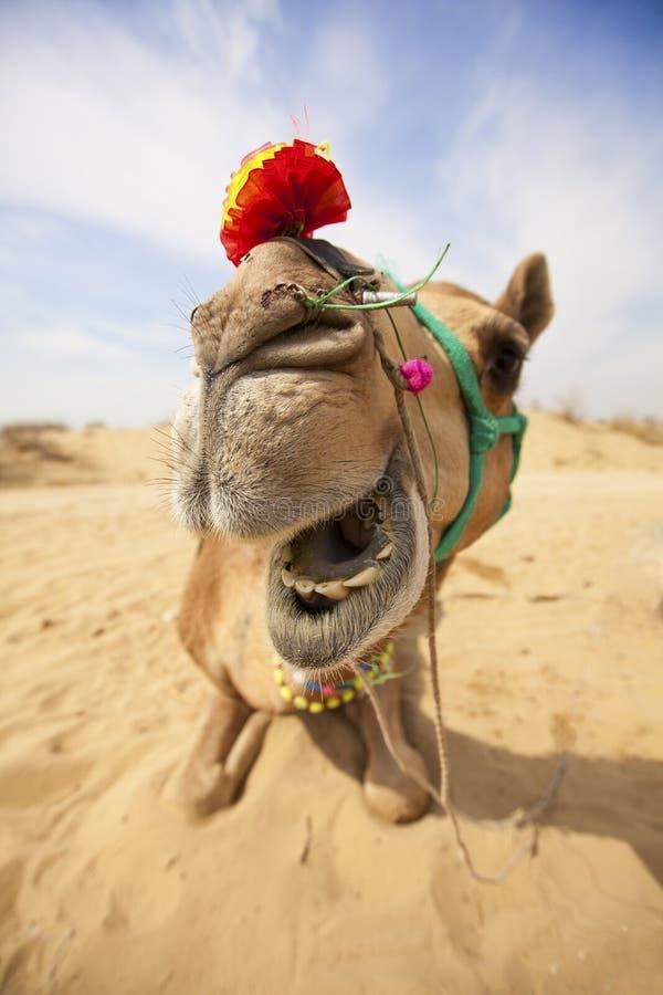 Le chameau riant. image stock