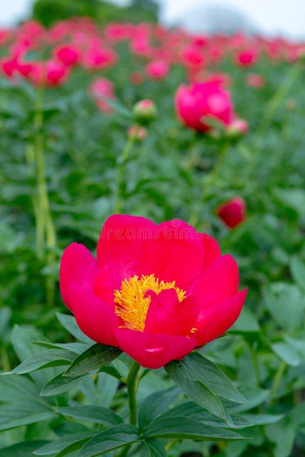 Le champ coloré avec la fleur saisonnière de grandes roses roses de pivoine fleurit, paysage de campagne, fleurs néerlandaises photos libres de droits