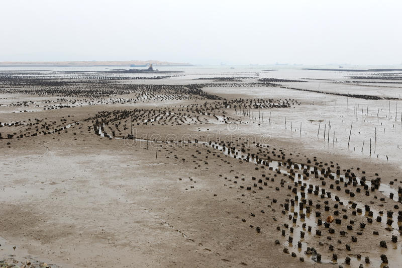 Le champ d'huître sur le mudflat image stock