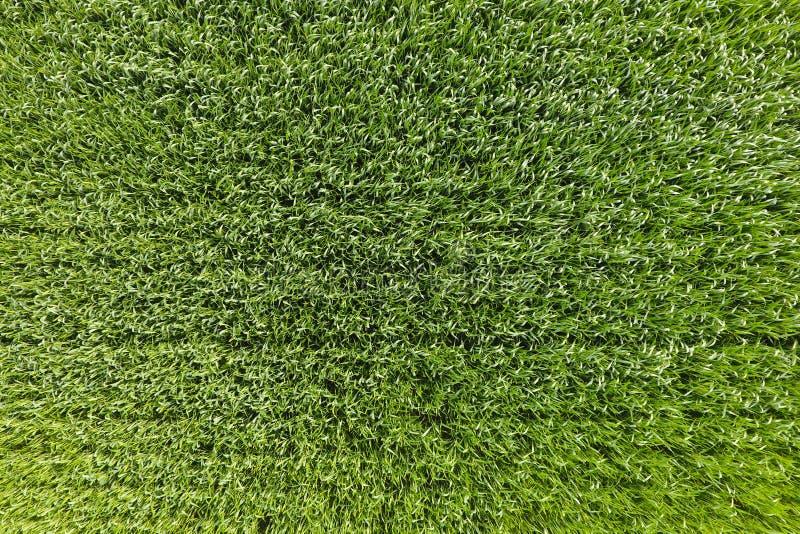 Le champ de blé est vert Jeune blé sur la zone Vue d'ab photos libres de droits
