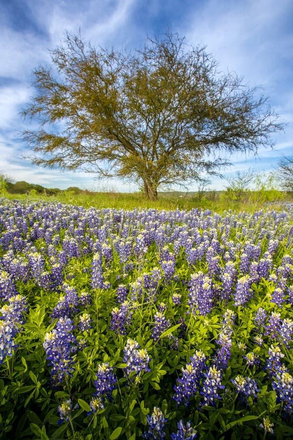 Le champ de bluebonnet de Texas et l'arbre solitaire chez Muleshoe plient la récréation photographie stock libre de droits