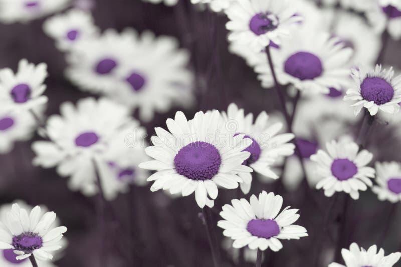 Le champ de camomille fleurit la frontière Belle scène de nature avec le bloo photographie stock libre de droits