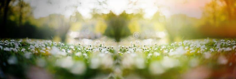 Le champ de marguerite avec les fleurs multiples et le soleil évasent image stock