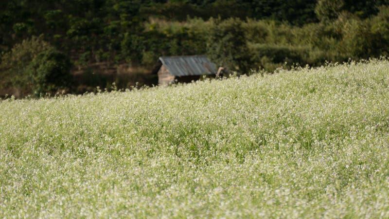 Le champ de moutarde avec la fleur blanche dans DonDuong - Dalat- Vietnam photo libre de droits