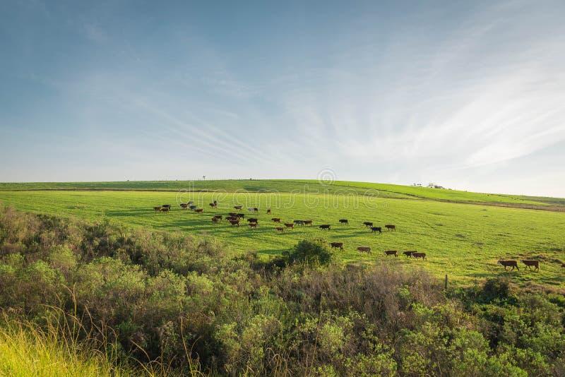 Le champ de pâturage et le troupeau de bovins 04 image libre de droits