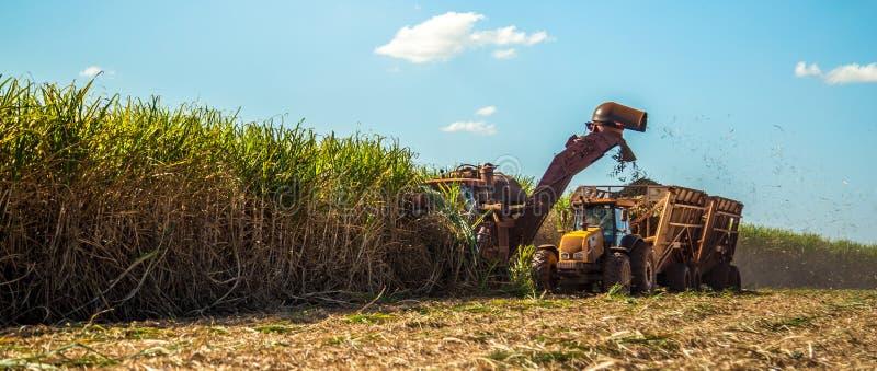 Le champ de plantation hasvest de canne à sucre image libre de droits