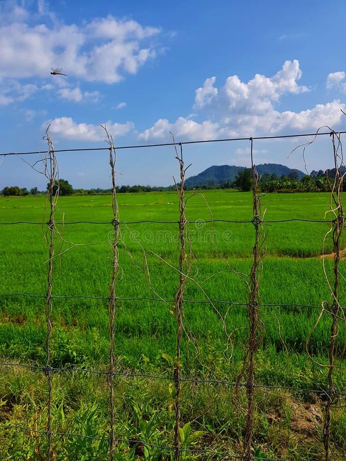 Le champ de riz a été planté par un fermier thaïlandais, derrière sa montagne et son ciel bleu image libre de droits