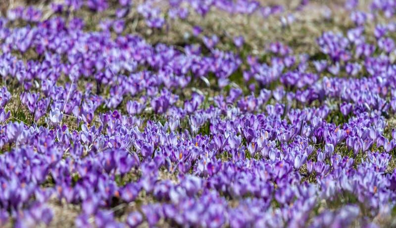 Le champ des fleurs de crocus peut être fond photo libre de droits