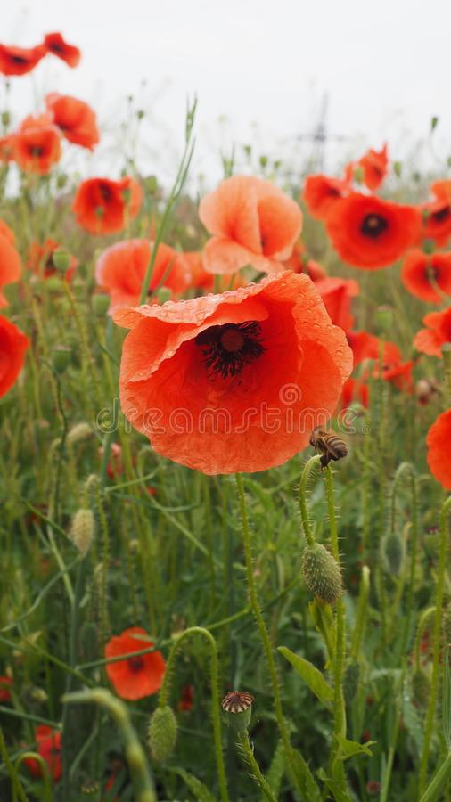 Le champ des pavots rouges avec la fleur en rosée image stock