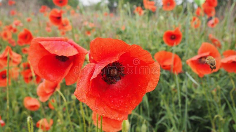 Le champ des pavots rouges photographie stock