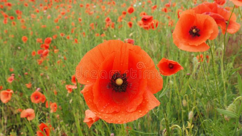 Le champ des pavots sensibles de fleurs rouges avec l'abeille photographie stock libre de droits