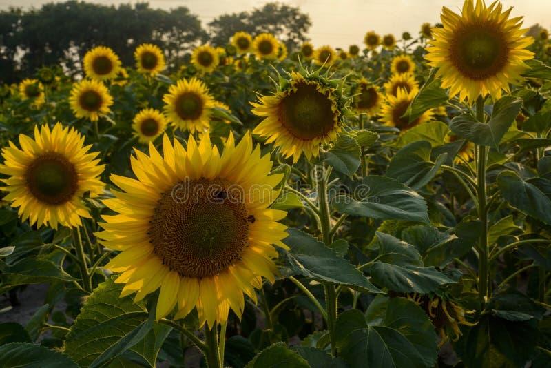 Le champ des tournesols photo stock