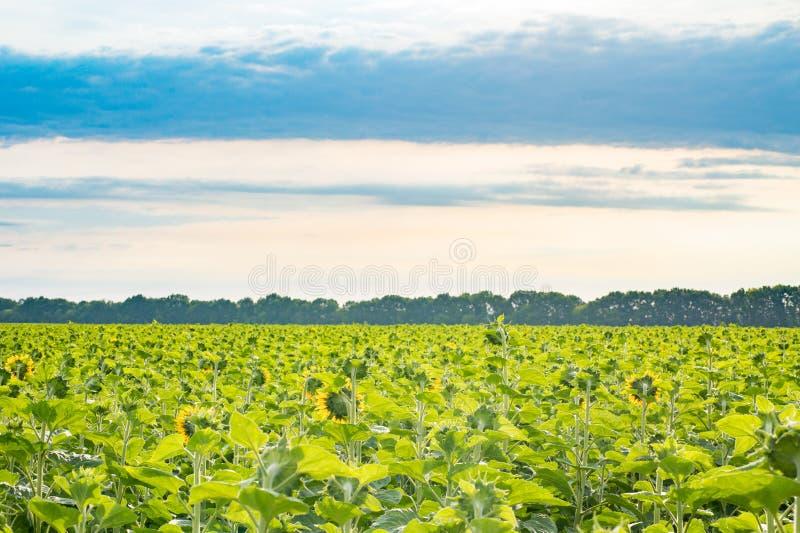 Le champ des tournesols s'est tourné vers le soleil sur le beau backgroun de ciel image stock