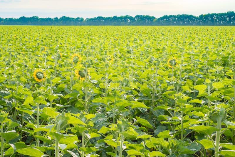 Le champ des tournesols s'est tourné vers le soleil sur le fond agricole images stock
