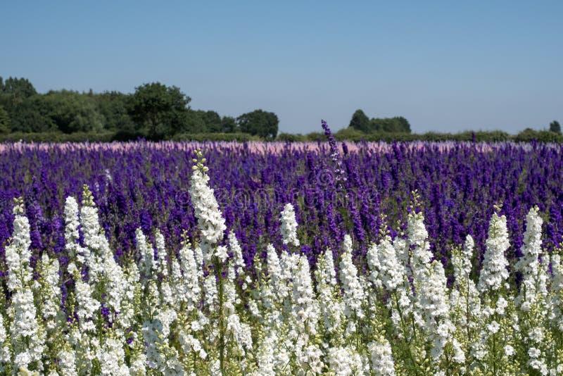 Le champ du delphinium coloré fleurit en mèche, Pershore, Worcestershire, R-U Les pétales sont utilisés pour faire des confettis  images libres de droits