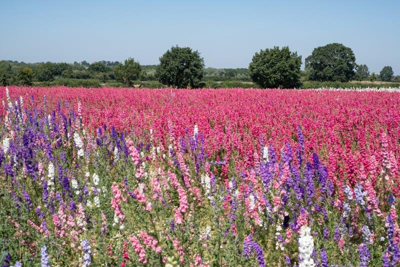 Le champ du delphinium coloré fleurit en mèche, Pershore, Worcestershire, R-U Les pétales sont utilisés pour faire des confettis  photo libre de droits