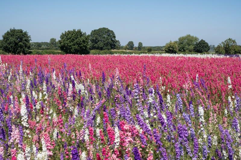Le champ du delphinium coloré fleurit en mèche, Pershore, Worcestershire, R-U Les pétales sont utilisés pour faire des confettis  images stock