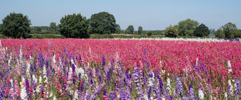Le champ du delphinium coloré fleurit en mèche, Pershore, Worcestershire, R-U Les pétales sont utilisés pour faire des confettis  image stock
