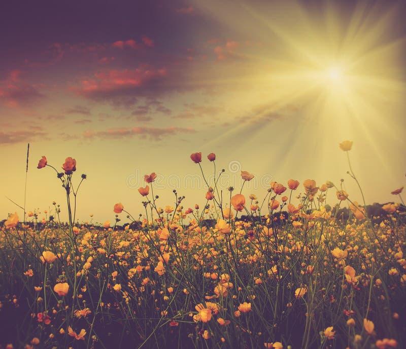 Le champ illimité et les rayons jaunes colorés de floraison de fleurs au soleil photographie stock