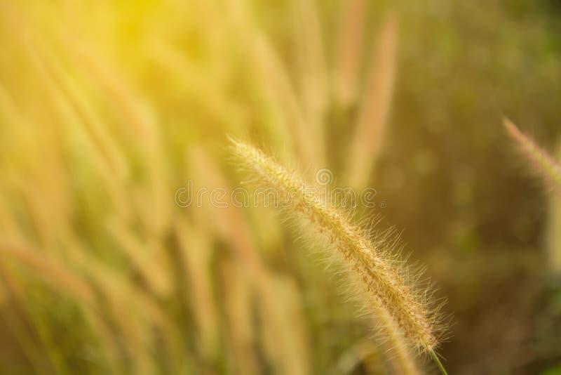 Le champ sauvage de l'herbe sur le coucher du soleil, le soleil mou rayonne, tonalité chaude, lentille photo libre de droits